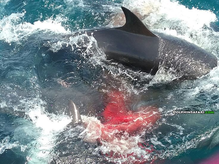 #GoAltaCA | Video: An amazing scene captured in Dana Point this weekend, a false killer whale, rarely seen in Southern California, gave birth right near a whale-watching boat.