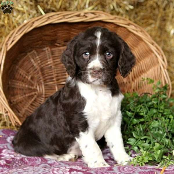 Dolly English Springer Spaniel Puppy For Sale In Pennsylvania Spaniel Puppies For Sale English Springer Spaniel Puppy Springer Spaniel Puppies