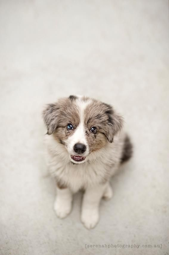 I love Aussie puppies