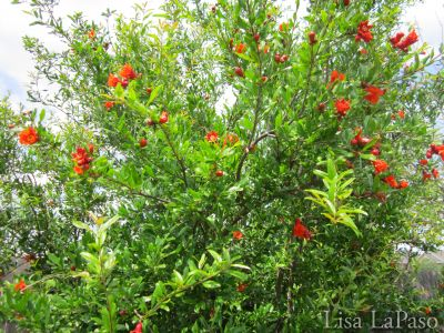 POMEGRANATE CREATES JEWELS FIT FOR A CROWN