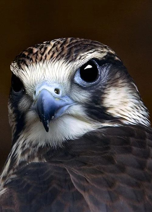 PEREGRINE FALCON....a widespread bird of prey....measures 13–23 inches long with a wingspan of 29–47 inches....renowned for its speed....can reach over 200 mph during its hunting /high speed dive....the fastest member of the animal kingdom...has been clocked as high as 242 mph