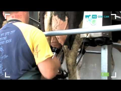 Rosie's Cow Cam - How to Milk a Cow
