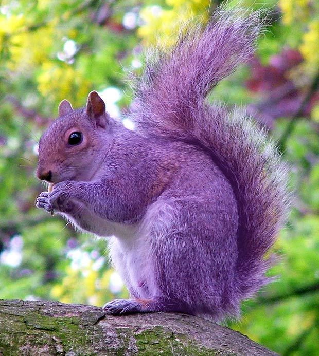 Pete the purple squirrel in Hampshire. Thought to have got his purple coat from chewing printer cartridges!
