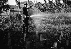 1905 ca. A man watering a vegetable garden Moonah, Tasmania museumvictoria.com.au