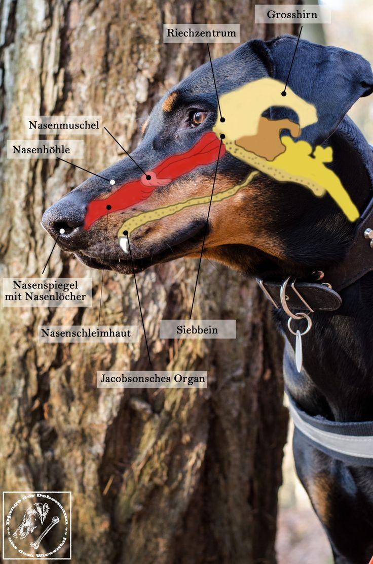 Alles über die Nase des Hundes und warum Du sie unbedingt fördern solltest.