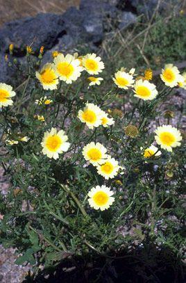 Glebionis coronaria Synonym(s)        Chrysanthemum coronarium
