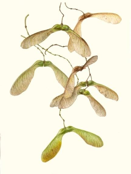 """Featured Image: """"Sycamore Seeds"""" by Lizzie Sanders. (431×573)"""