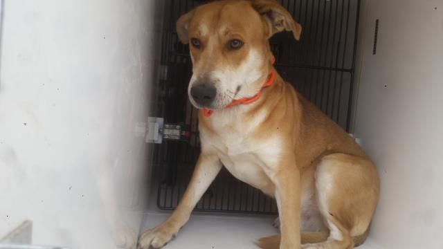 01/10/17 - EU DATE ANY TIME!!! PLEASE WATCH VIDEO AND ADOPT/RESCUE/FOSTER!! SUPER URGENT - HOUSTON FACILITY OVER CAPACITY - This DOG - ID#A475356 I am a male, red and white Carolina Dog. I am about 2 years old. I have been at the shelter since Jan 10, 2017. Harris County Public Health and Environmental Services. https://www.facebook.com/harriscountyanimalshelterpets/videos/1385284784868649/