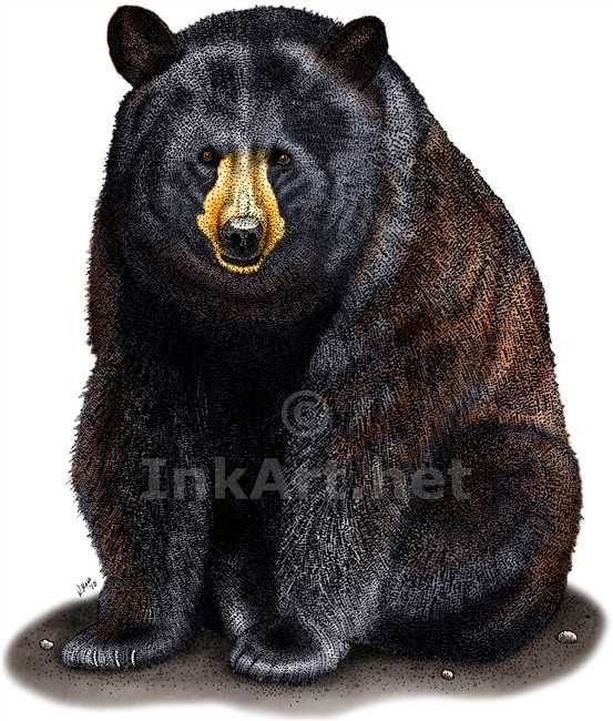 American Black Bear (Ursus americanus) Line Art and Full Color Illustration
