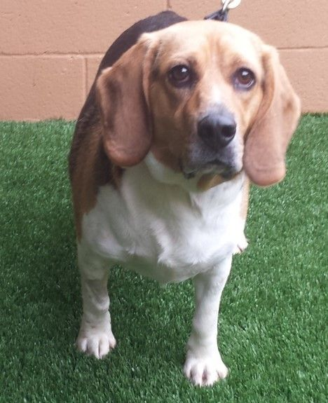 Boomar is an adoptable Beagle searching for a forever family near Newnan, GA. Use Petfinder to find adoptable pets in your area.
