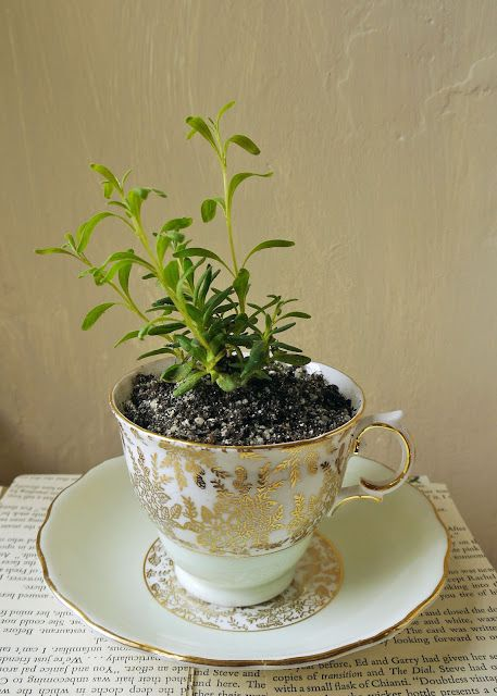 The Peppermint Store: Tiny little plants in tea cups