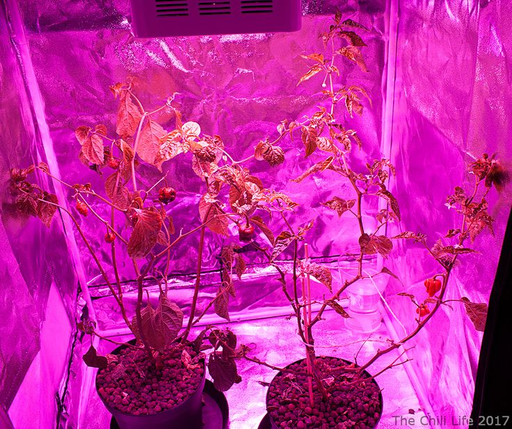 My two Capsicum Chinense chilies growing under a LED grow light in my new grow tent. See the blog post for information on the Carolina reaper (the right) and my impressions on how to grow it.