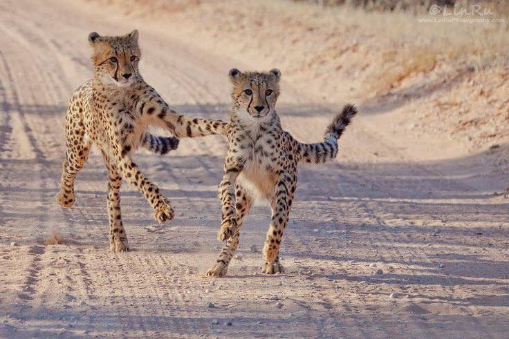 Cheetah Cubs at Play by Rudi van den Heever Linru Photo Website Twitter Google+