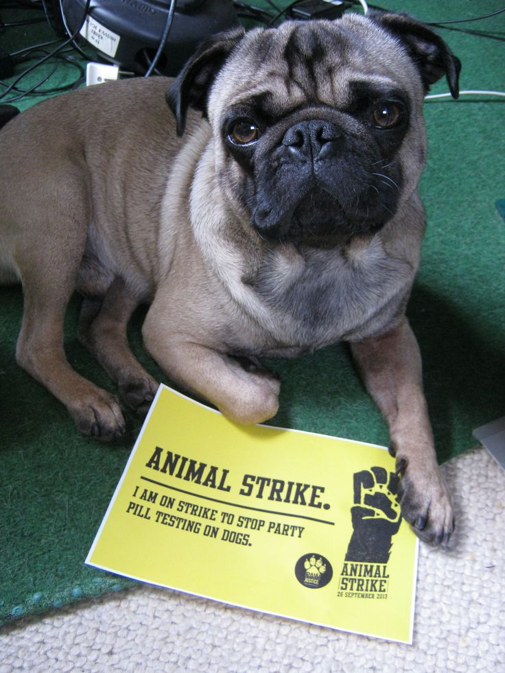 #animalstrike Smeagol's against party pill testing on dogs too!!! Please sign the petition at http://animalstrike.co.nz/