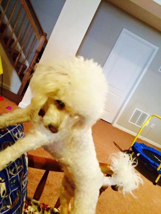 500 best Poodle 2 images on Pinterest | Poodles, Standard poodles ...