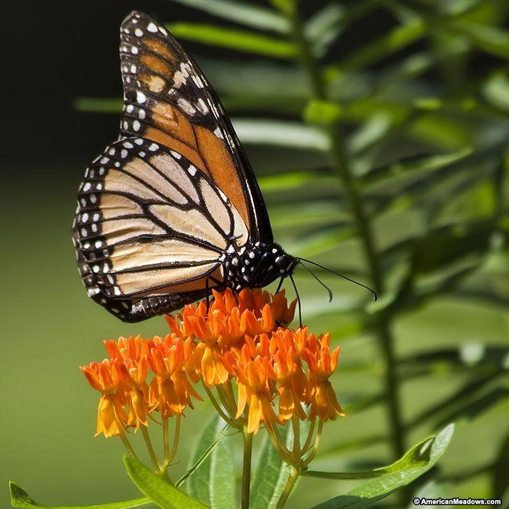 Butterfly & Pollinator Garden