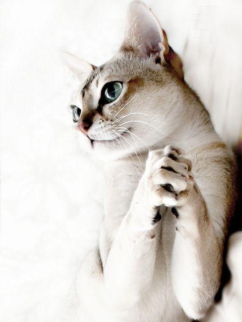 Beautiful Singapura cat