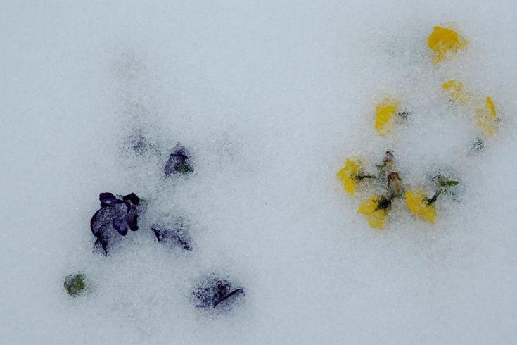 Ανοιξη στον πάγο. Μια καθυστερημένη κακοκαιρία έπληξε την Νέα Υόρκη με αρκετό χιόνι και θυελλώδεις ανέμους. Η «Stella» έφερε μαζί της δριμύ ψύχος, με αποτέλεσμα τα σχολεία να είναι κλειστά, χιλιάδες πτήσεις να ακυρώνονται τόσο στην Νέα Υόρκη αλλά και στην Βοστόνη, την Βαλτιμόρη  και την Φιλαδέλφεια. Οσο για τους πανσέδες που φυτεύτηκαν με σκοπό να στολίσουν την επερχόμενη άνοιξη έξω από το Καπιτώλιο, αυτοί μπήκαν για λίγο στον πάγο. REUTERS/Jonathan Ernst