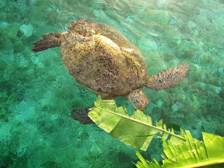 Green Turtle at Derawan Island