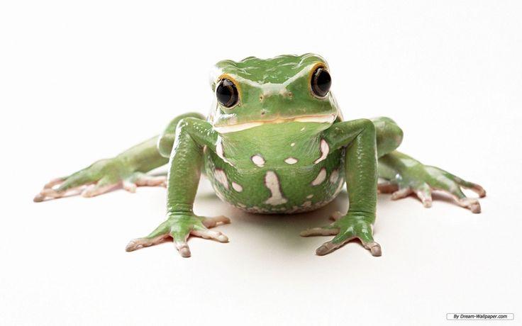Frog-Wallpaper-frogs-7018034-1280-800.jpg 1,280×800 pixels