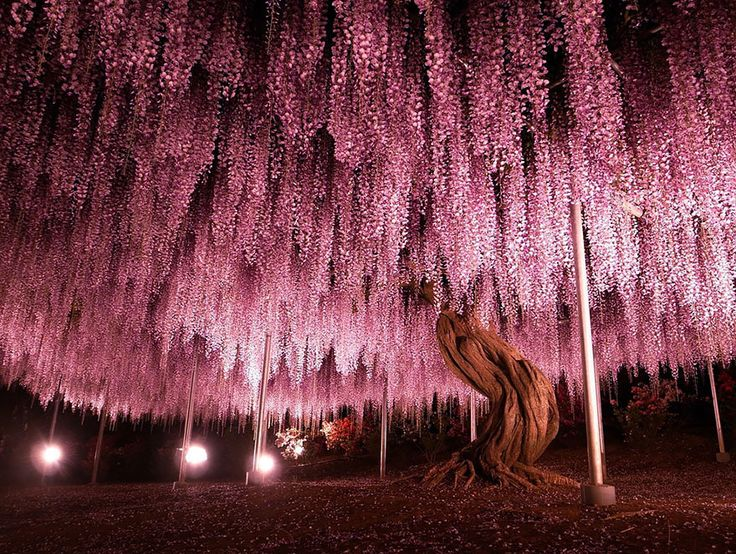 21 unique and spectacular trees and forests around the world. Wisteria Tree