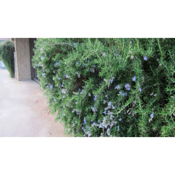 Rosemary 'Blue Lagoon'