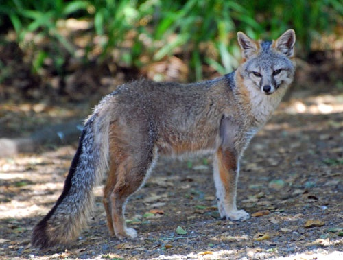 This gray fox is a frequent visitor at the UC Botanical Garden at Berkeley.    Gray fox by Melanie Hofmann