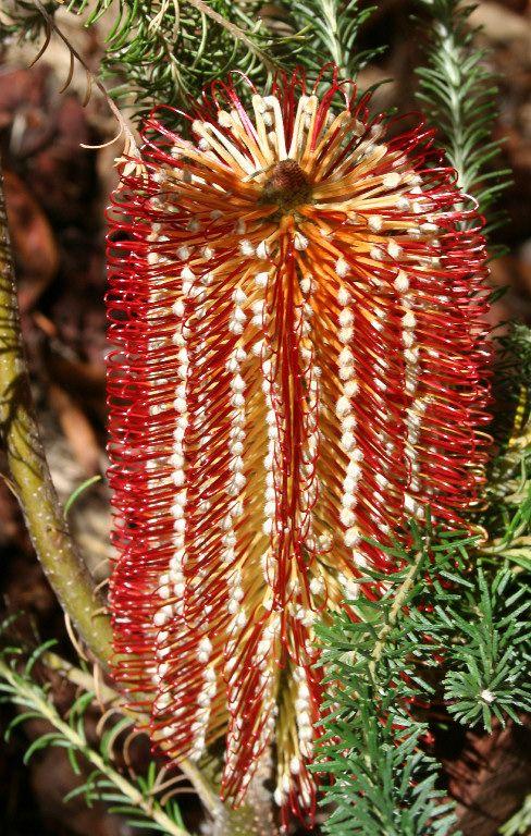 Native Australian Plants   Banksia-Burgundy