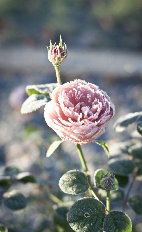 Rose caught in winter