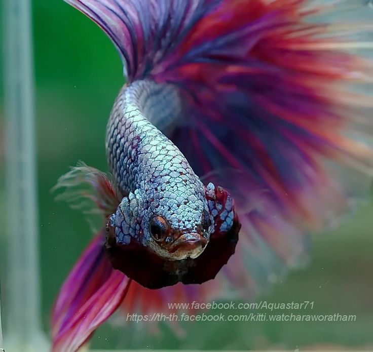 1395 best aaa bettas luchador de siam images on for How often do i feed my betta fish