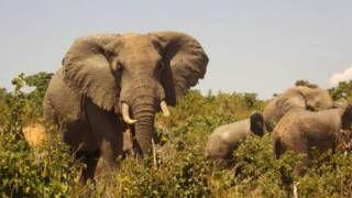 Image caption                     Los elefantes están amenazados por la caza furtiva.   Puede que los cazadores furtivos de elefantes estén interesados solamente en los colmillos de los animales. Pero el emprendedor keniano John Matano está interesado en lo que sale del otro extremo del mamífero terrestre más grande. Esto es debido a que Matano, un empresario de 58 años de edad, recoge estiércol de elefante que se convierte en papel de alta calidad.