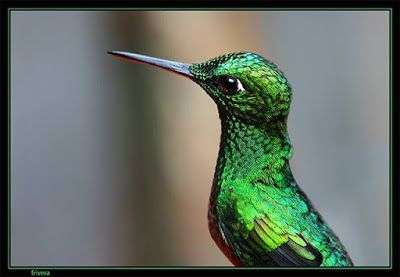 El Blog de la Tertulia Literaria: Leyendas: La leyenda del colibrí (leyenda maya)