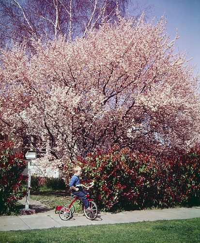 Vintage Canberra blossoms in the suburbs  1963