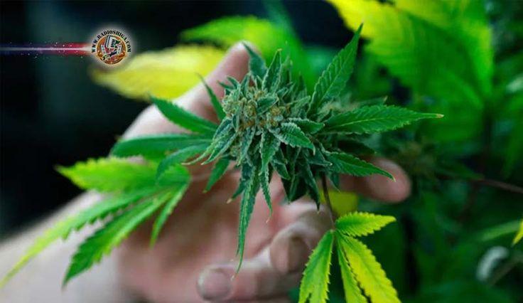 Brasil: Anvisa inclui Cannabis sativa em relação de plantas medicinais. A Agência Nacional de Vigilância Sanitária (Anvisa) divulgou nesta terça-feira (16)