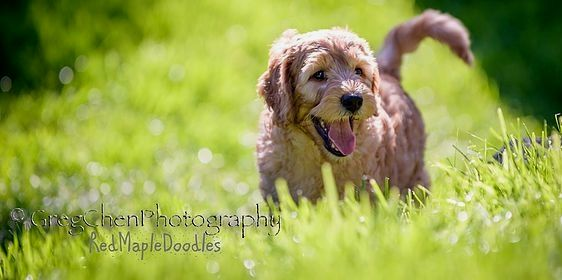 Pin By Stephanie M Clevenger On Goldendoodle Goldendoodle