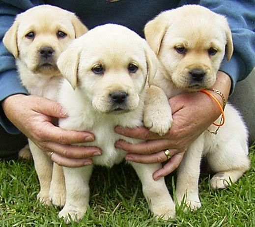 Cute puppy and dog: Three same cute dogs