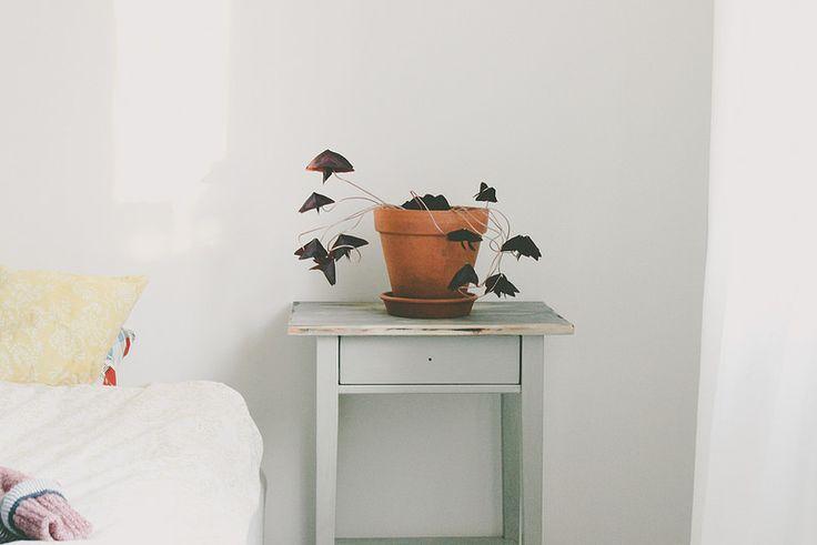 un petit coin de verdure dans sa chambre avec des oxalis (une plante aux feuilles pourpres en forme de triangle)