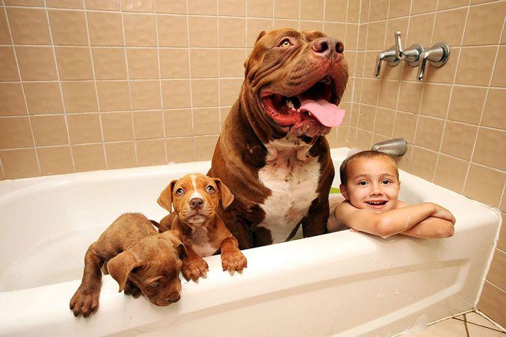 "World's Largest Pitbull ""Hulk"" Has 8 Puppies Worth Up To Half A ..."