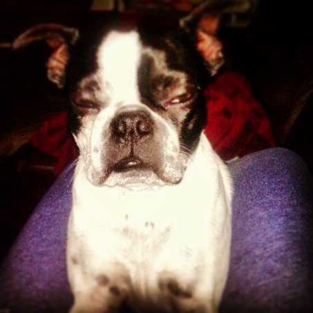 Boston Terriere. Such a cute little guy. Love him!