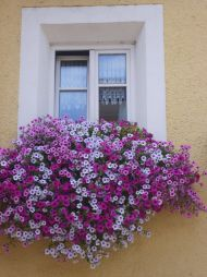 wonderful window: Windowsil Flowers, Flowers Gardens Container, Mixed Colors, Flowers Outdoor, Flowers Boxes, Purple Hue, Flowers Shrubs, Flower Boxes, Window Boxes