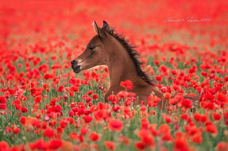 — In the sea of red. arabian foal  bay   field poppy