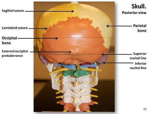sagittal suture anatomy - 500×383