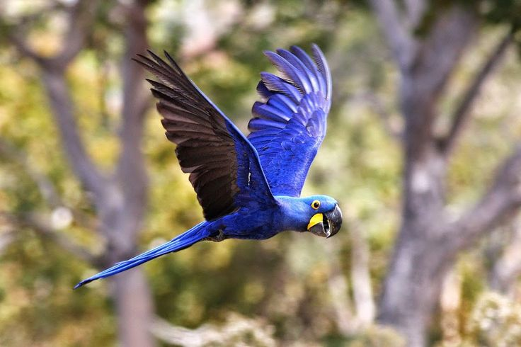 Free Images : bird, wing, animal, flying, wildlife, red ... |Blue Macaw Parrot Flying