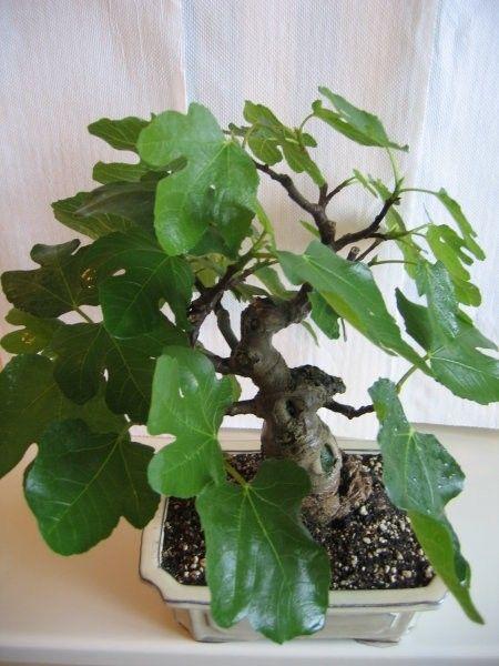 1004 Best Bonsai 2 Images On Pinterest Bonsai Trees