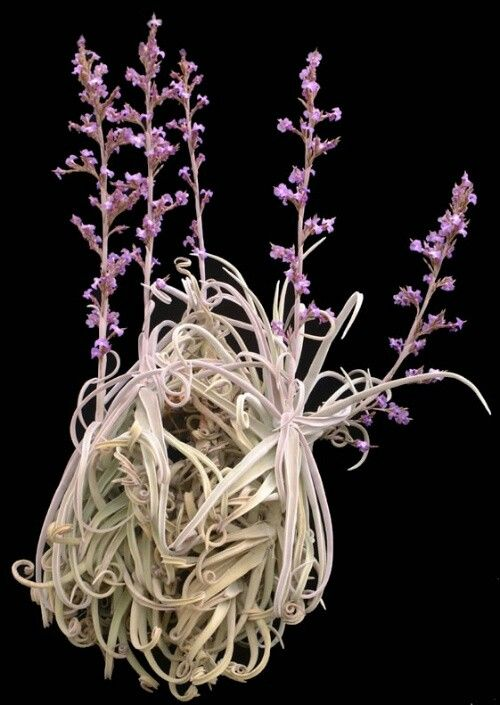 #tillandsia  AN AIRPLANT...I HAVE A FEW OF THESE BUT HAVE NEVER SEEN THIS.