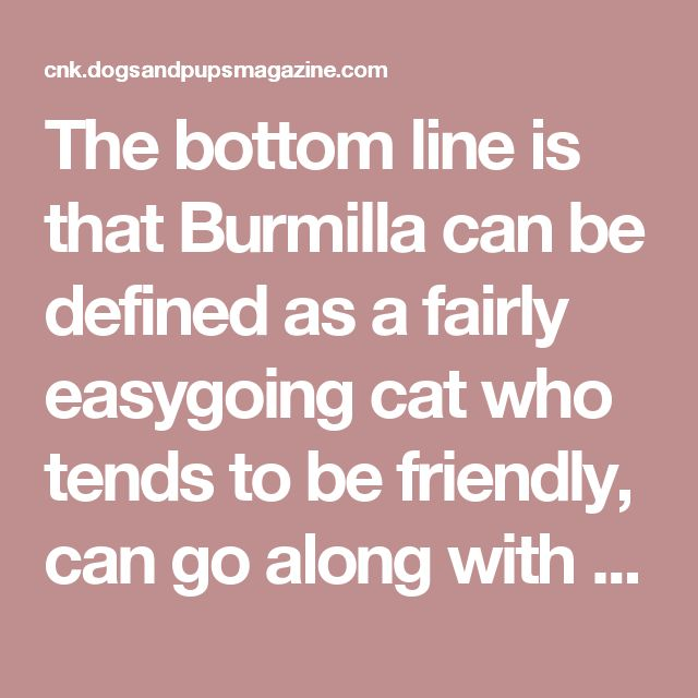 The bottom line is that Burmilla can be defined as a fairly easygoing cat who tends to be friendly, can go along with anyone; their sweet demeanour makes them a good companion. They required minimal medical & grooming cares.