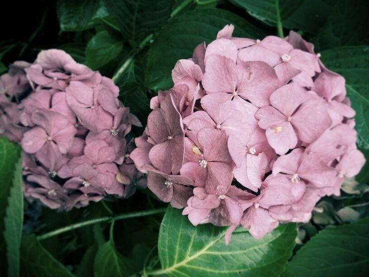 Twee roze hortensia bollen in de tuin