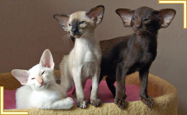 cute cat  http://animalfactsblog.com/donskoy-cat/