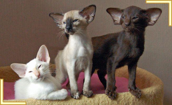 Siamese & Oriental Kittens - 12 week old. More individual photos found here - www.burnthwaitessiamese.co.uk/battlestars-12.php