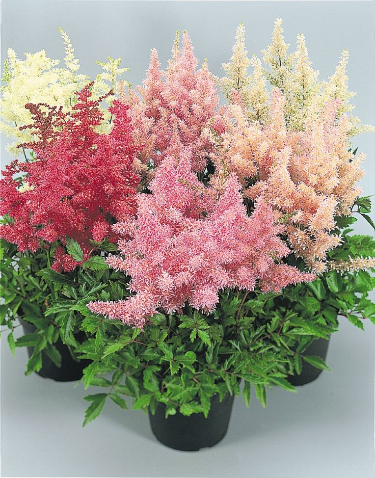 Astilbe arendsii, Showstar®, Perennial | Benary